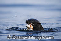 Cape Fur Seal feeding on octopus Photo - Chris & Monique Fallows