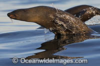 Cape Fur Seal escaping Shark Photo - Chris & Monique Fallows