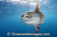 Ocean Sunfish South Africa image