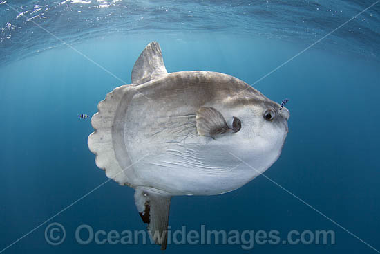 Ocean Sunfish (Mola mola). Found in tropical and temperate waters worldwide. Photo taken off Cape Point, South Africa. Within the Coral Triangle.
