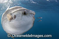 Ocean Sunfish South Africa Photo - Chris & Monique Fallows