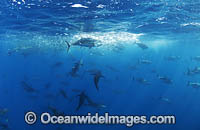 Yellowfin Tuna feeding on baitball photo