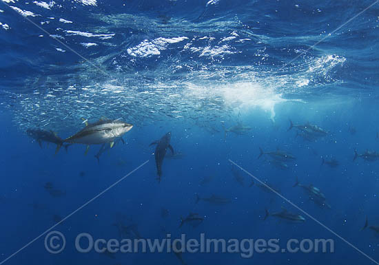 Yellowfin Tuna (Thunnus albacares), feeding on a baitball. Photo taken off Cape Point, South Africa.