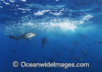 Yellowfin Tuna feeding on baitball image