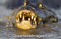 Yacare Caiman hunting fish Photo - Chris & Monique Fallows