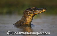Yacare Caiman Photo - Chris & Monique Fallows
