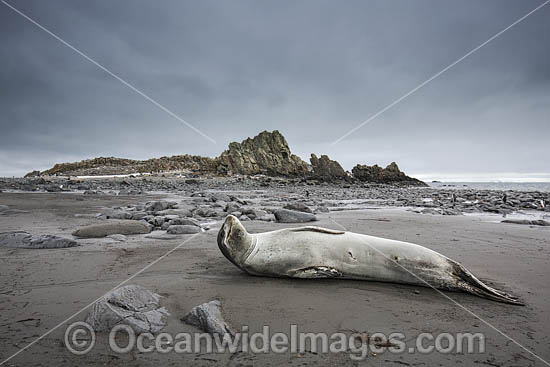 Leopard Seal (Hydrurga leptonyx). Photo taken at Elephant Point, Livingstone island, Antarctica.