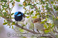 Superb Fairy-wren male and female Photo - Gary Bell