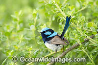 Superb Fairy-wren Photo - Gary Bell