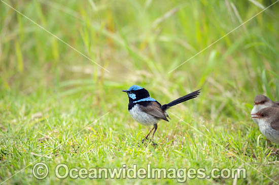 Supurb Fairy-wren (Malurus cyaneus), male. Found in dense undergrowth, bracken, shrubbery in forests and heaths throughout south-eastern Australia. Photo taken at Flinders, Victoria, Australia. Photo - Gary Bell