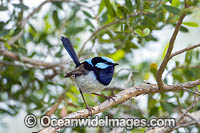 Superb Fairy-wren male Photo - Gary Bell
