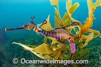 Weedy Seadragon with eggs photo