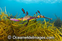 Weedy Seadragon with eggs Victoria Photo - Gary Bell