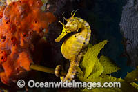 Southern Pot-belly Seahorse photo