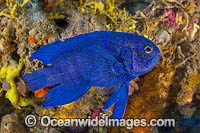 Southern Blue Devil photo