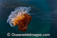 Jellyfish Cyanea rosella photo