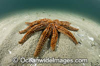 Eleven-arm Seastar Photo - Gary Bell