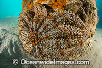 Eleven-arm Seastar Blairgowrie Pier Photo - Gary Bell