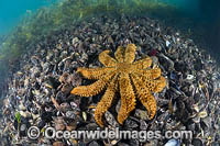 Seastar feeding on mussels Photo - Gary Bell