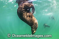 Australian Fur Seal Port Phillip Bay photo