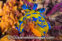 Nudibranch making egg ribbon Photo - Gary Bell
