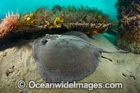 Eastern Stingaree Photo - Gary Bell