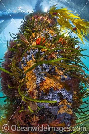 Exquisitely coloured sponges, tunicates and algas attached to a timber pylon beneath Flinders Pier, Western Port Bay, Mornington Peninsula, Victoria, Australia. Photo - Gary Bell