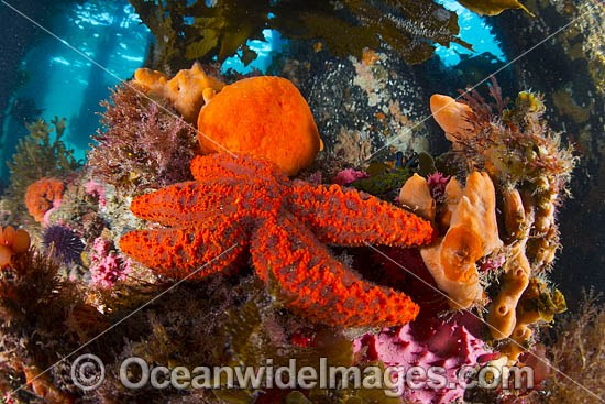 Temperate reef scene consisting of Sea Star, Sponges, Sea Urchin and Alga, photographed under Sorrento Pier, Port Phillip Bay, Mornington Peninsula, Victoria, Australia. Photo - Gary Bell