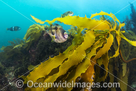 Leatherjacket amongst kelp photo