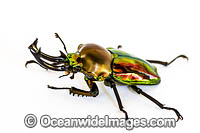 Rainbow Stag Beetle Photo - Gary Bell