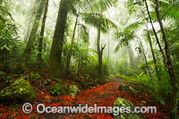 Illawara Flame Trees in Rainforest photo