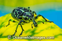 Botany Bay Diamond Weevil Photo - Gary Bell