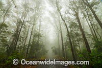 Eucalypt forest in mist Photo - Gary Bell