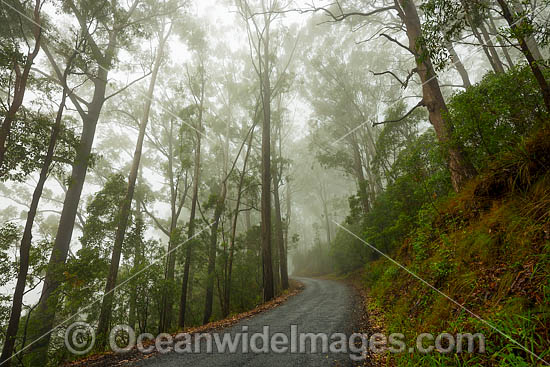 Road through eucalypt forest cloaked in mist, situated in the Bruxner Park Flora Reserve. Coffs Harbour, New South Wales, Australia. Photo - Gary Bell