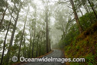 Eucalypt forest photo
