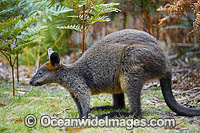 Swamp Wallaby Photo - Gary Bell