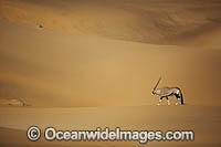 Gemsbok Namibia photo