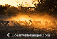 Springbok South Africa photo