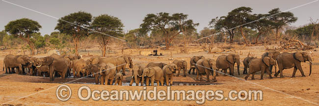 African Elephant (Loxodonta africana), herd at a water hole. Also known as Bush Elephant and Savanna Elephant. Photo - Chris and Monique Fallows