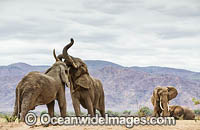 African Elephant male interaction photo