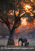 African Elephant Mana Pools Zimbabwe photo
