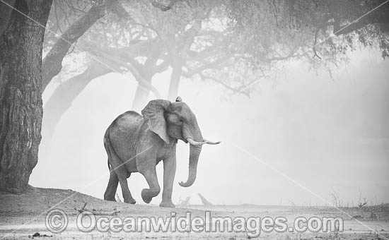 African Elephant (Loxodonta africana), in a dust storm. Mana Pools National Park, Zimbabwe. Photo - Chris and Monique Fallows