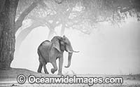 African Elephant in a dust storm photo