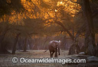 African Elephant Zimbabwe photo