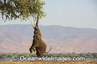 African Elephant feeding photo