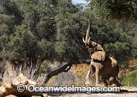 African Elephant bull attracting female photo