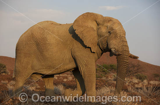 African Elephant (Loxodonta africana). Desert dwelling elephant. Damaraland, Namibia. Photo - Chris and Monique Fallows