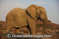 African Elephant Damaraland Namibia photo