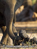 African Elephant adult and young calf photo