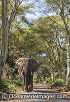 African Elephant Kruger National Park photo